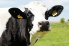 cow-394148_640